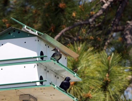 Be a Good Bird Landlord with a Purple Martin House