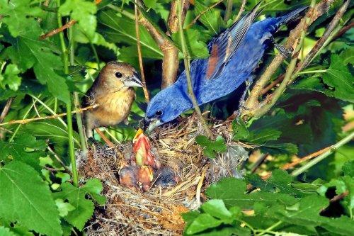 Get to Know Blue Grosbeaks