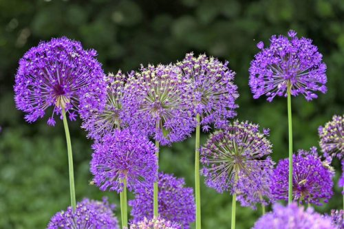 Plant Allium Bulbs in Fall for Gorgeous Spring Flowers