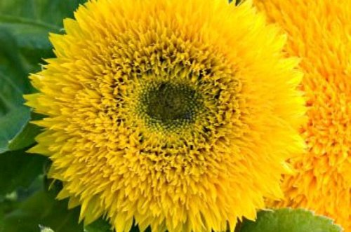 Top 10 Classic Yellow Flowers to Grow