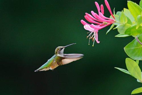 Top 15 Colorful Flowers Hummingbirds Like