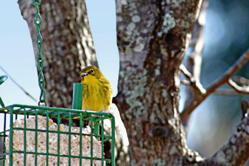 Look for Pine Warblers at Suet Feeders
