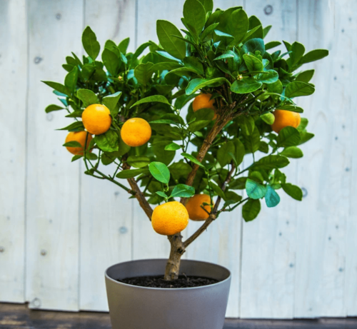 Expert Tips for Growing a Clementine Tree Indoors