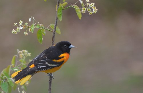 How to Attract Oriole Birds to Your Backyard