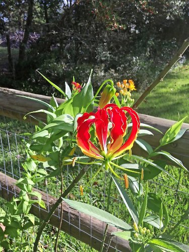 How to Grow and Care for a Gloriosa Lily