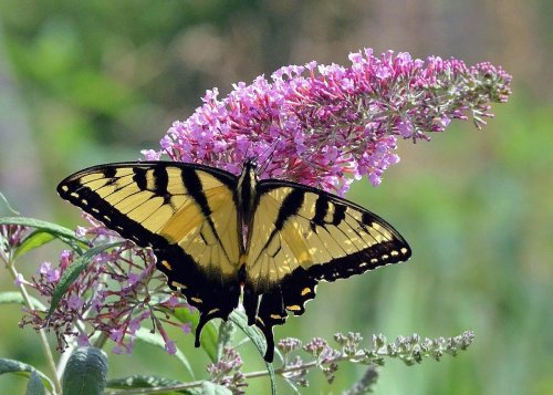 17 Blooming Bushes That Attract Butterflies