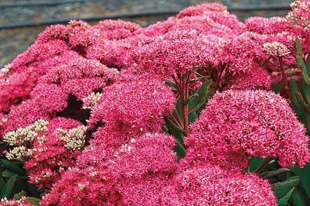 Top 10 Fall Blooming Perennials for Your Garden
