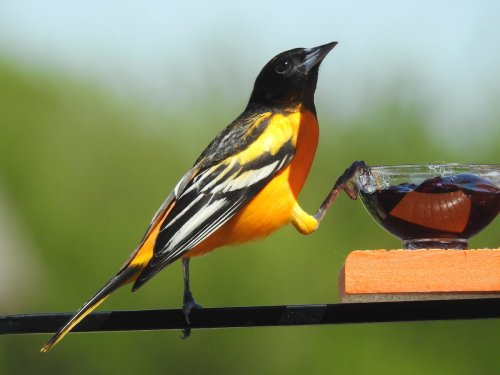 How to Feed Orioles: What Do Orioles Eat?