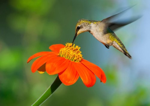 11 Frequently Asked Questions About Attracting Hummingbirds