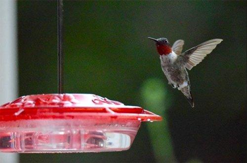 Sugar Water for Hummingbirds 101