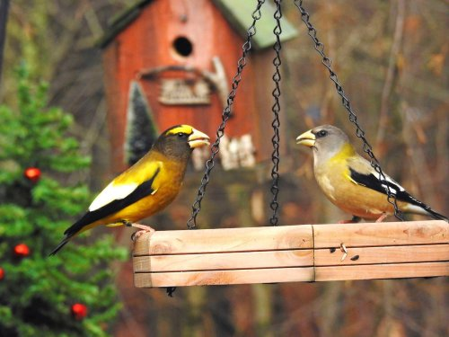 Evening Grosbeaks Are Special Winter Visitors