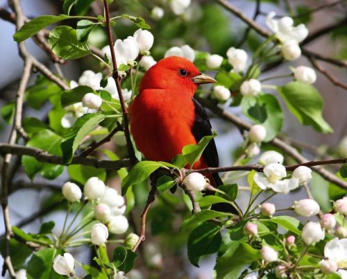 Look Up High to Spot Stunning Scarlet Tanagers