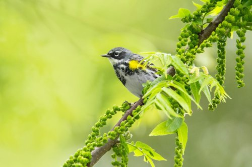 Yellow-Rumped Warblers: Meet the Butterbutts