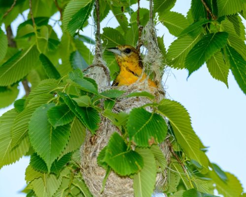 Discover How Orioles Weave Elaborate Nests