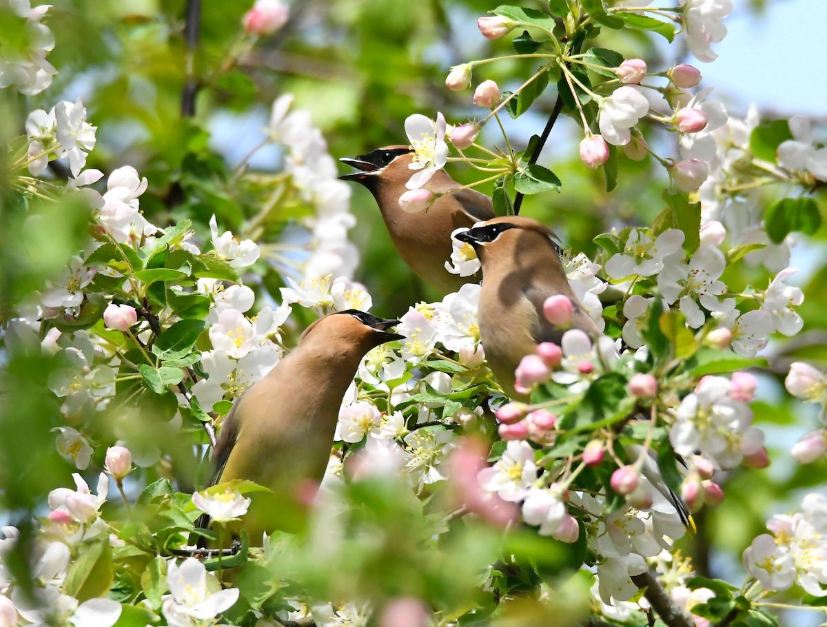 What Does a Cedar Waxwing Call Sound Like?