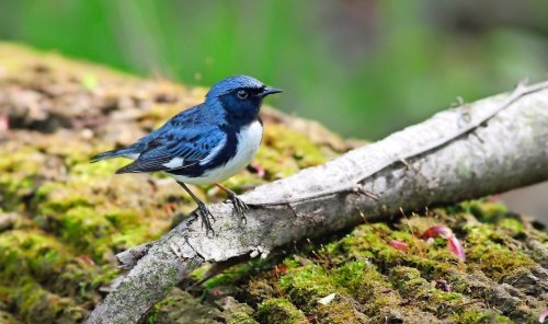 All About Black-Throated Blue (and Green!) Warblers
