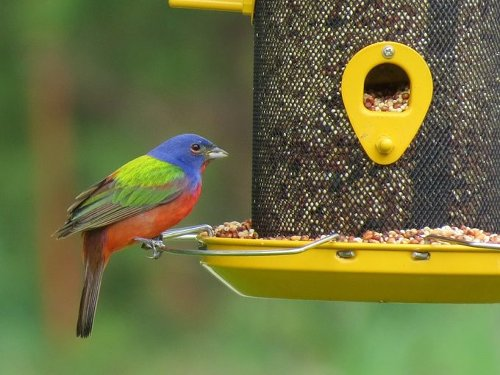 Rainbow Birds: All About Painted Buntings