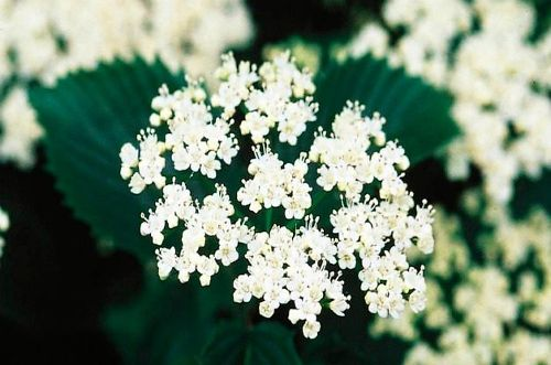 Top 10 Summer Flowering Shrubs