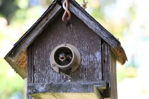How to Keep House Sparrows Out of Bluebird Boxes
