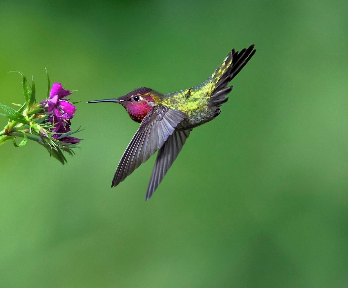 The Many Sounds of Hummingbirds