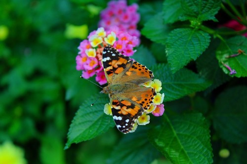 Plant Colorful Lantana Flowers for Butterflies