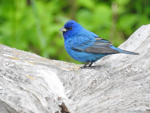 Look and Listen for Bright Blue Indigo Buntings