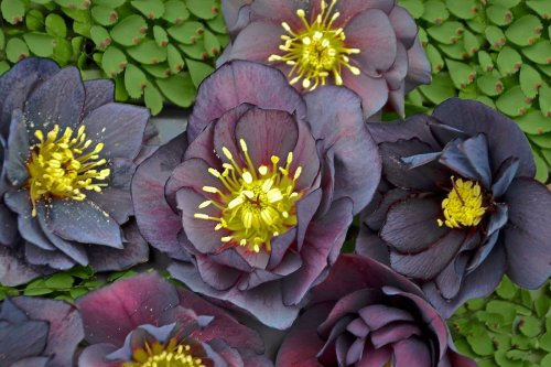 Top 10 Dark Colored Flowers That Are Almost Black