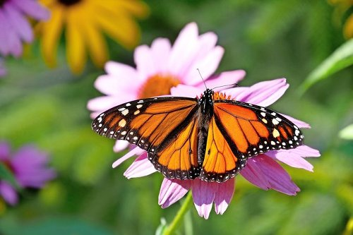 3 Butterflies That Look Like Monarchs