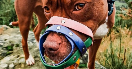Woman whose 'gentle' Staffy has to wear a muzzle is petitioning to end BSL