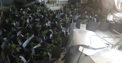Cannabis farm worth £61k found as suspect 'jumped out of window'