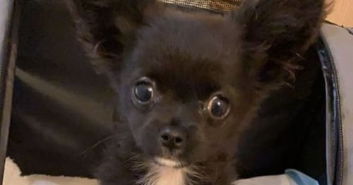 Chihuahua pup goes crazy to song that's meant to calm him down