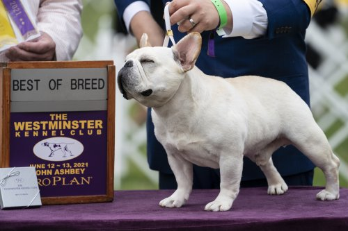 Westminster Dog Show 2021 Results: Best of Breed Winners and Saturday Recap