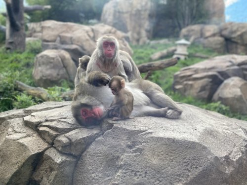 A Lincoln Park Zoo Snow Monkey Named Her Baby 'Minato' By Using A Touchscreen