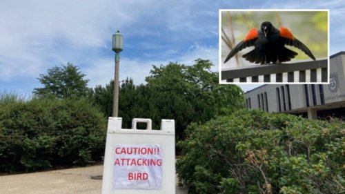 Red-Winged Blackbirds Attacking People Along Lakefront Are Just Protecting Their Nests, Experts Say