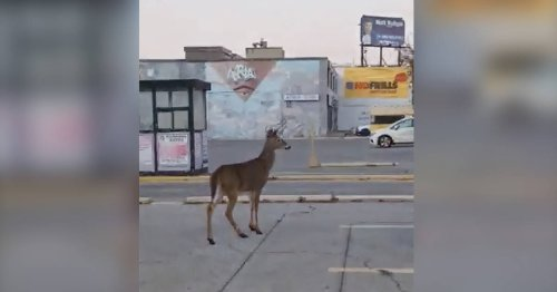 Deer spotted hanging out in Toronto No Frills parking lot