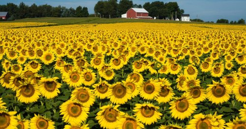 There's a huge sunflower festival in Ontario this month