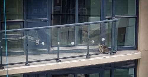 A baby raccoon is trapped on a Toronto condo balcony 20 storeys up