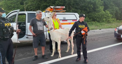 Escaped llama shuts down traffic on major Toronto highway