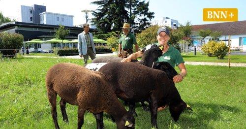 Bei Siemens in Karlsruhe ersetzen Schafe den Mähroboter
