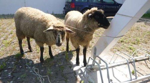 Festgebundene Schafe in Freistett - für Opferfest angeleint?