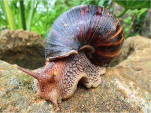 15 Dangerous Giant Snails From Africa Seized At Houston Airport