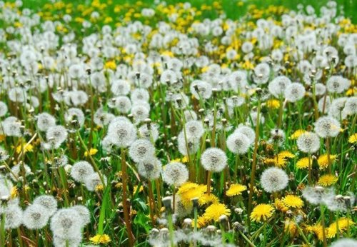 How To: Get Rid of Dandelions