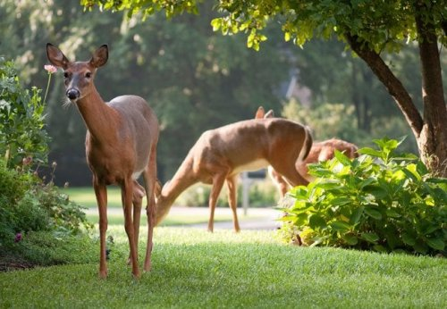 How To: Make and Use Your Own Deer Repellent