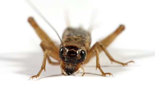 How To: Get Rid of Crickets