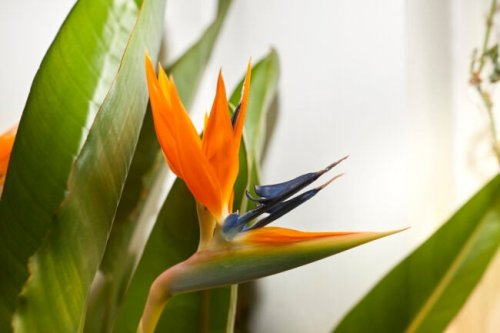 Master Indoor Bird of Paradise Plant Care and Your Green Thumb Will Soar