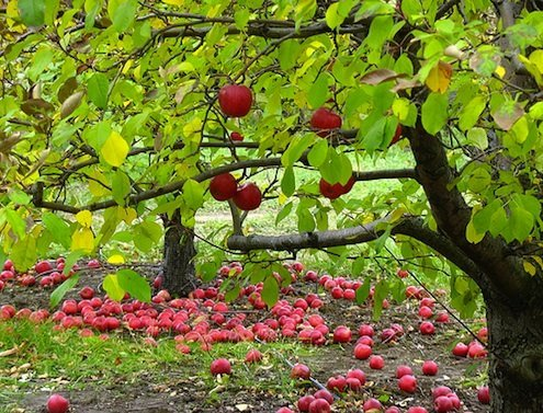 How To: Plant an Apple Tree