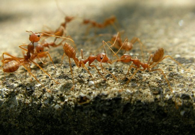 How To: Get Rid of Fire Ants