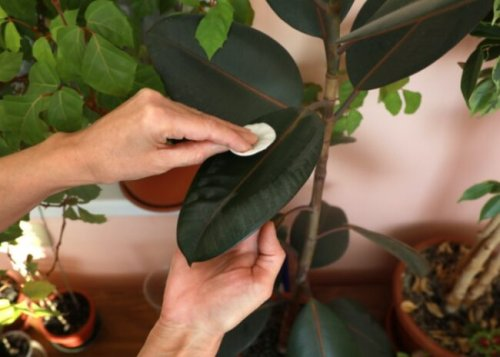 3 Good Reasons to Dust Your Houseplants—and How to Do It