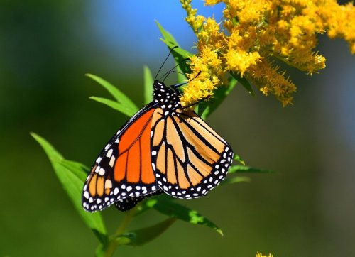 8 Ways Your Garden Can Save America's Most Beautiful Butterfly from Extinction