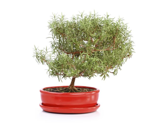 6 Types of Bonsai Trees That Are Best for Beginners